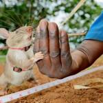 NGO, APOPO, RATS, DEMINING, TUBERCULOSIS